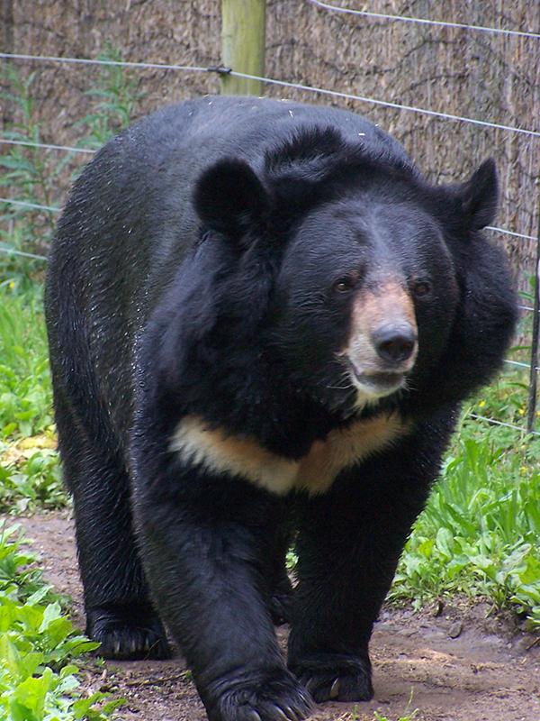 ツキノワグマ ※ 写真はイメージです。記事中のクマとは直接関係ありません。(写真:Jeff Egnaczyk)