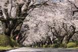 桜並木の再生に向けて「ICU桜募金」目標額4千万円を達成