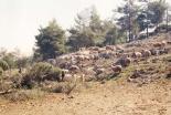 聖書のヤコブの物語に登場するぶちの羊、2千年の歴史を経てイスラエルに戻る