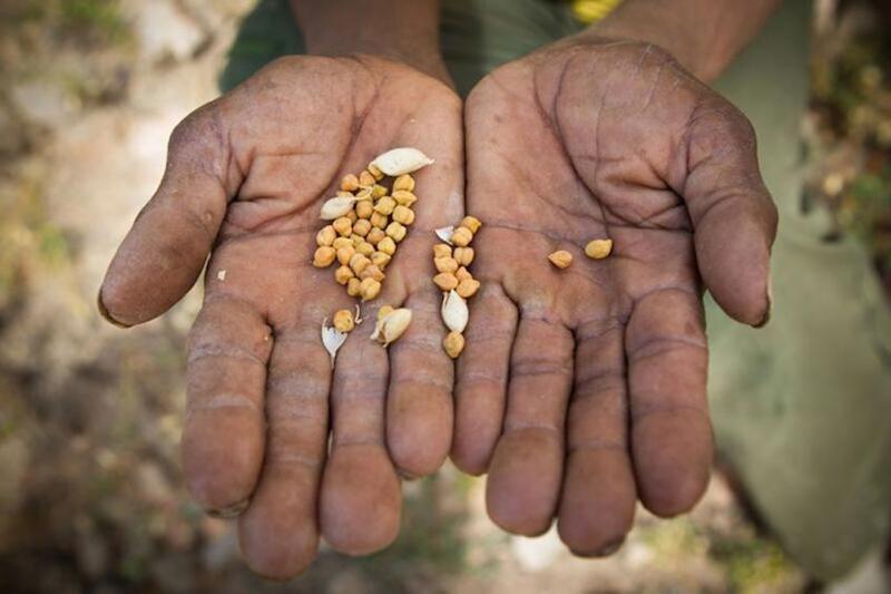 乏しいヒヨコマメの収穫を見せるウォディ・ゲライェさん。彼は食糧援助に頼って家族を養っている。(写真:LWF / Hannah Mornement)