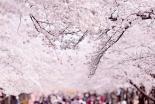 日出る国に、神が与え給いし「桜」 関智征