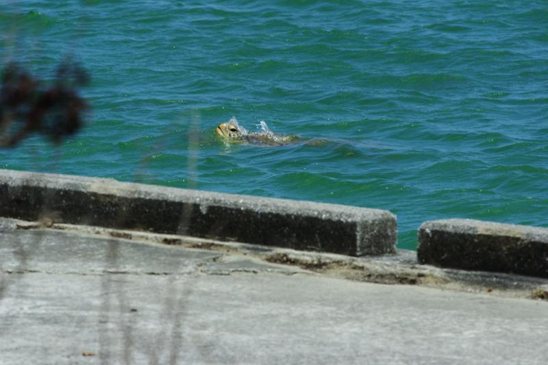 辺野古漁港(名護市)に現れたウミガメ=7月23日午後2時ごろ(写真:山本英夫撮影、ブログ「<a href='http://ponet-yamahide.cocolog-nifty.com' target='_blank'>ヤマヒデの沖縄便りⅢ</a>」より許可を得て転載)