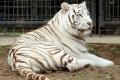 福音の回復(72)飼育員を殺したホワイトタイガーは裁かれるべきか?―私たちの姿を探る― 三谷和司