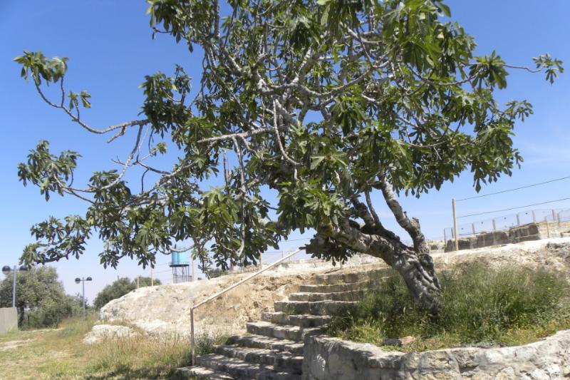 エルサレム近郊にある預言者サムエルの墓の近くに立つイチジクの木。ルカによる福音書では、実のならないイチジクの木を切り倒すよう命じる園主のたとえ話を、イエス・キリストが語られている。(写真:Ian Scott)