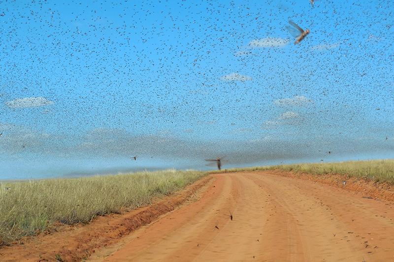 マダガスカルで発生したバッタの群れ(写真:Iwoelbern)